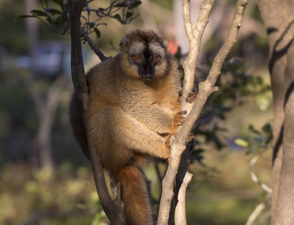 Female red-fronted lemur